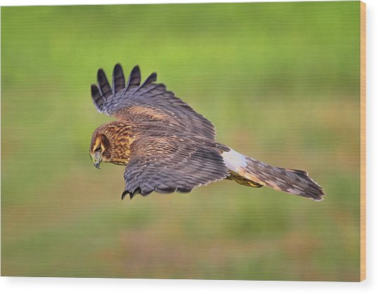 Prey Flyby Wood Print