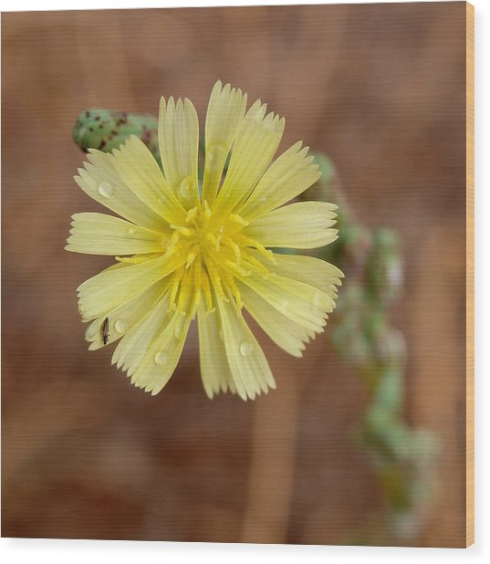 Prickly Lettuce Flower - Lactuca Serriola Wood Print