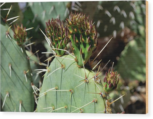Prickly Pear Buds Wood Print