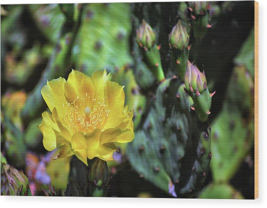 Prickly Pear Cactus Flower On Assateague Island Wood Print