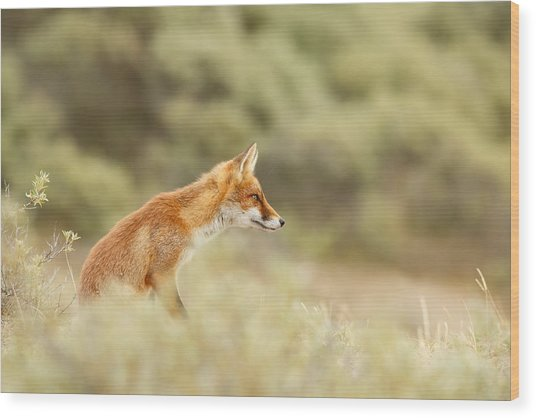 Princess Of The Hill - Red Fox Sitting On A Dune Wood Print
