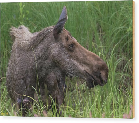 Profile Of Wild Moose Wood Print