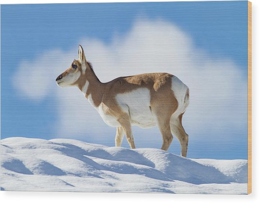 Pronghorn Doe On Snowy Ridge Wood Print