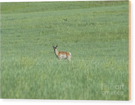Pronghorn In A Sea Of Green Wood Print
