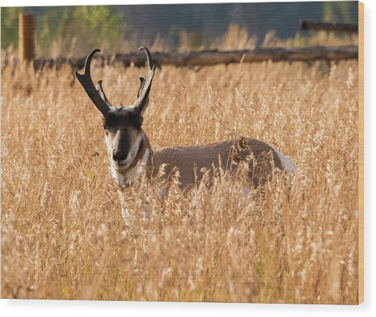 Wood Print featuring the photograph Pronghorn by Jennifer Ancker