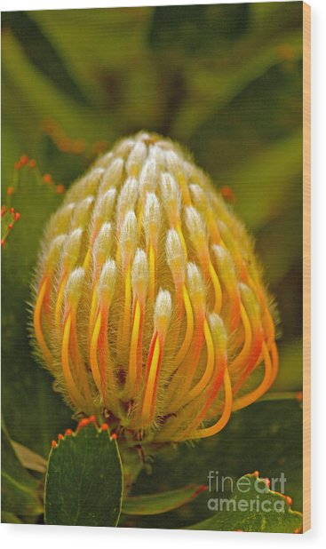 Proteas Ready To Blossom  Wood Print