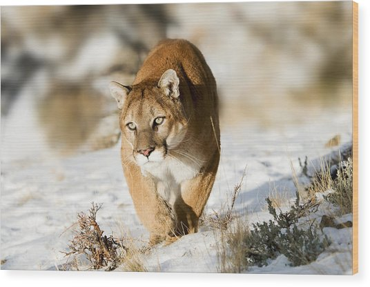Prowling Mountain Lion Wood Print