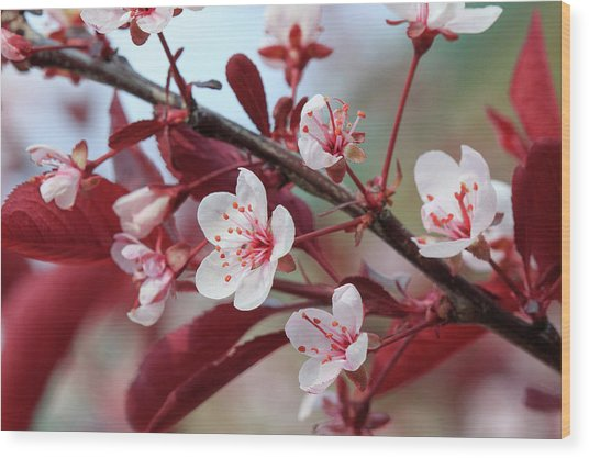 Prunus Cistena Wood Print by Rodger Werner
