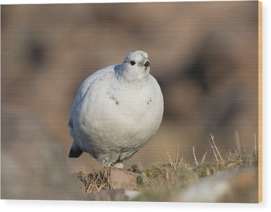 Wood Print featuring the photograph Ptarmigan Going For A Stroll by Karen Van Der Zijden
