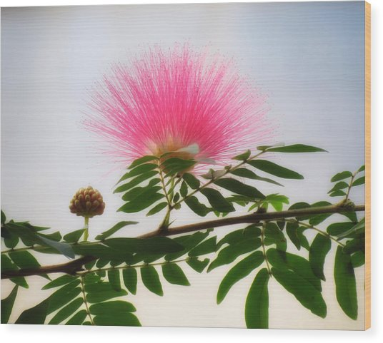Puff Of Pink - Mimosa Flower Wood Print