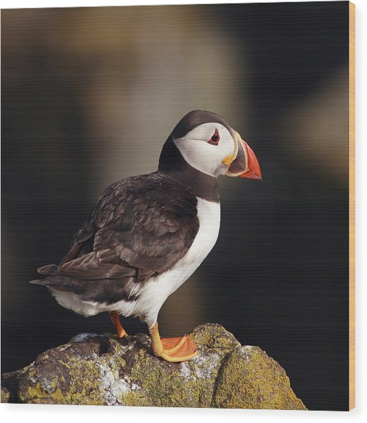 Puffin On Rock Wood Print