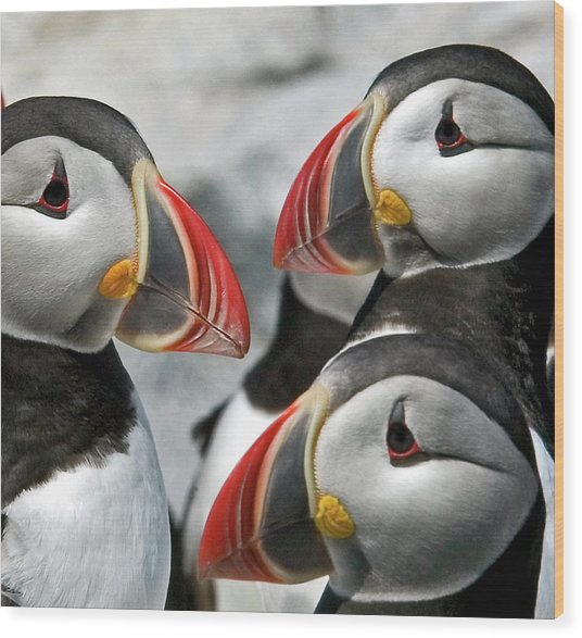 Puffins Closeup Wood Print