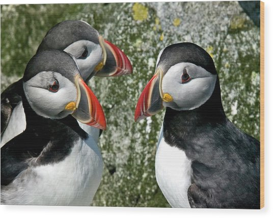 Puffins Together Wood Print