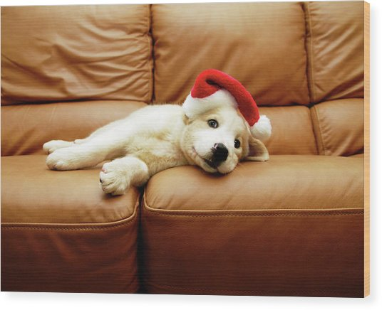 Puppy Wears A Christmas Hat, Lounges On Sofa Wood Print