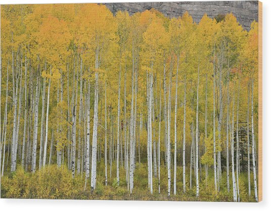 Purgatory Aspen Grove Wood Print
