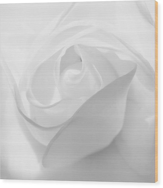 Purity - White Rose Wood Print