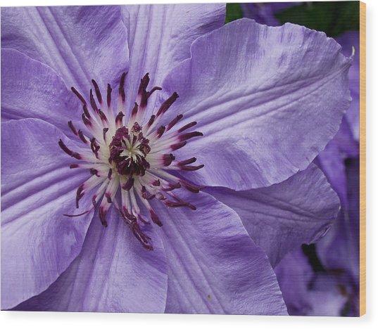 Purple Clematis Blossom Wood Print