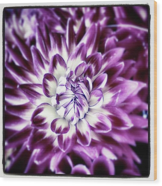 Wood Print featuring the photograph Purple Dahlia. A Color Variation Of The by Mr Photojimsf
