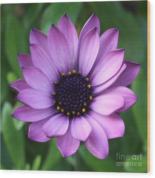 Purple Daisy Square Wood Print
