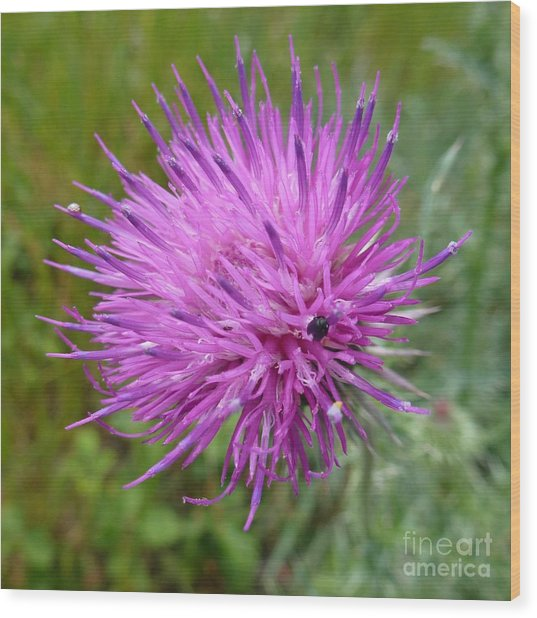 Purple Dandelions 2 Wood Print