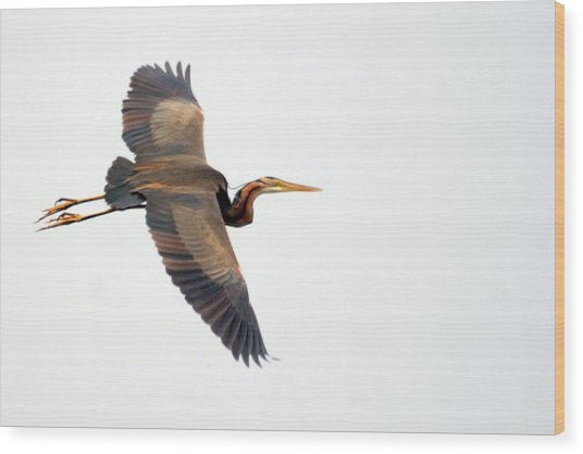 Purple Heron In Flight Wood Print
