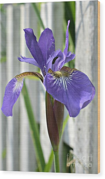 Purple Iris At The Fence Wood Print