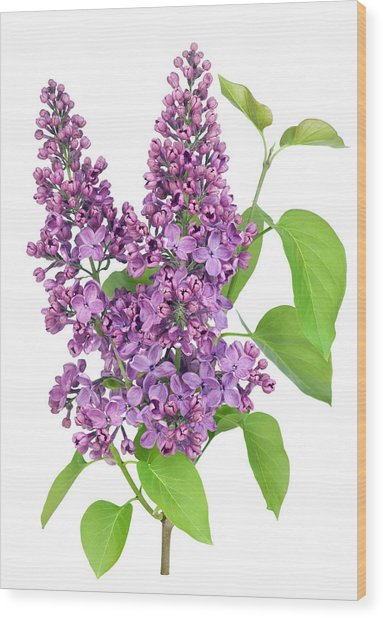 Purple  Lilac Isolated Branch Wood Print