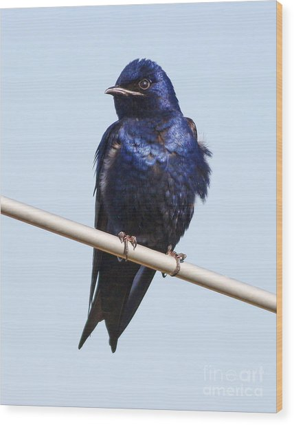 Purple Martin Wood Print