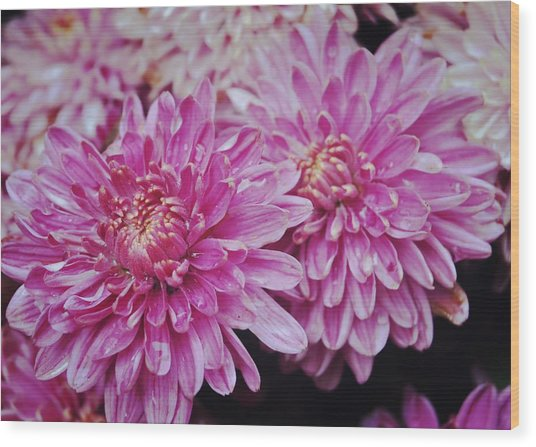 Purple Mums Wood Print by JAMART Photography