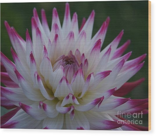 Purple Tipped Starburst Dahlia Wood Print