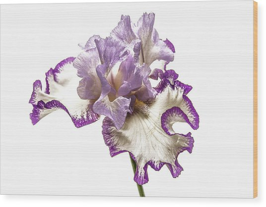 Purple White Iris Wood Print