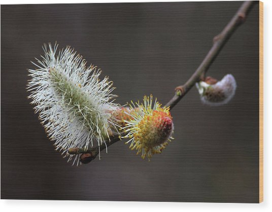 Pussy Willow Stony Brook New York Wood Print