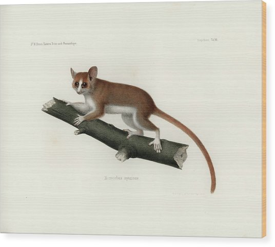 Pygmy Mouse Lemur Wood Print