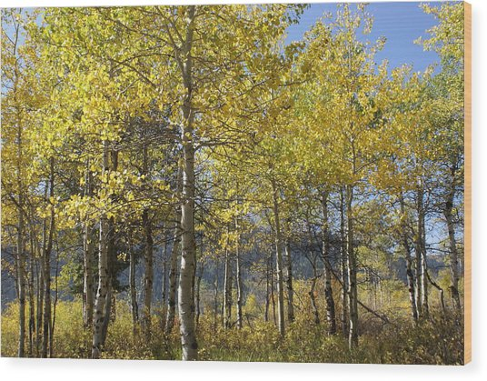 Quaking Aspens Wood Print