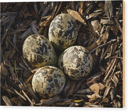 Quartet Of Killdeer Eggs By Jean Noren Wood Print