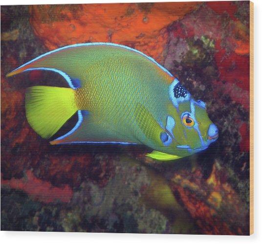 Queen Angelfish, U. S. Virgin Islands 2 Wood Print