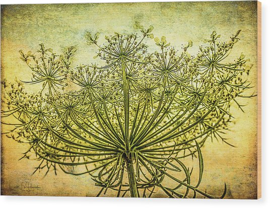 Queen Anne's Lace At Sunrise Wood Print