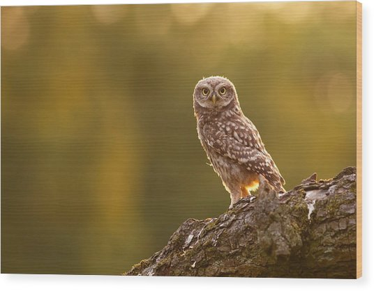 Qui, Moi? Little Owlet In Warm Light Wood Print