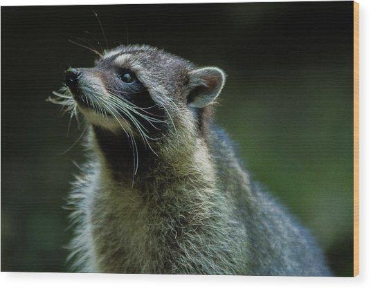 Raccoon 1 Wood Print