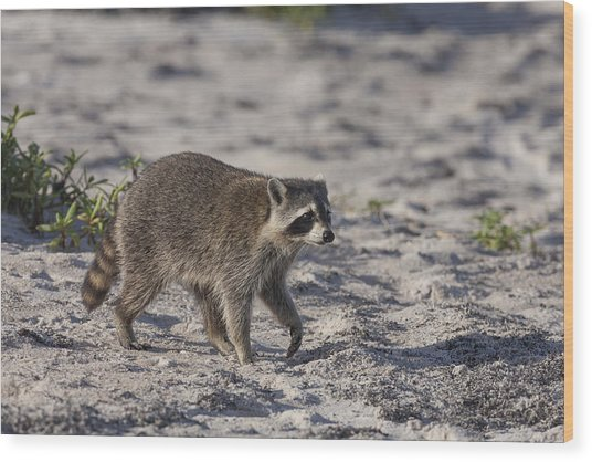 Raccoon On The Beach Wood Print