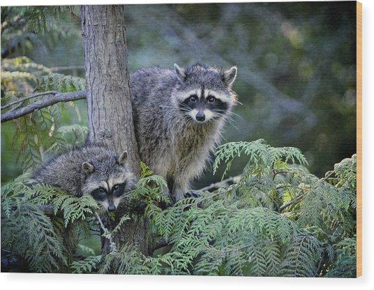 Raccoons In Stanley Park Wood Print