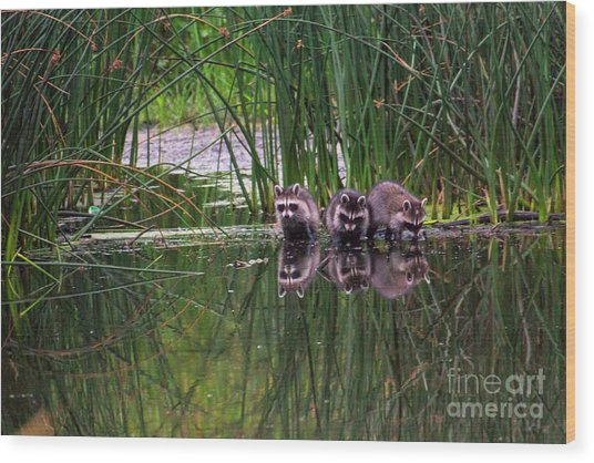 Wood Print featuring the photograph Raccoons by Spencer Baugh