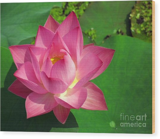 Radiant Water Lily Wood Print