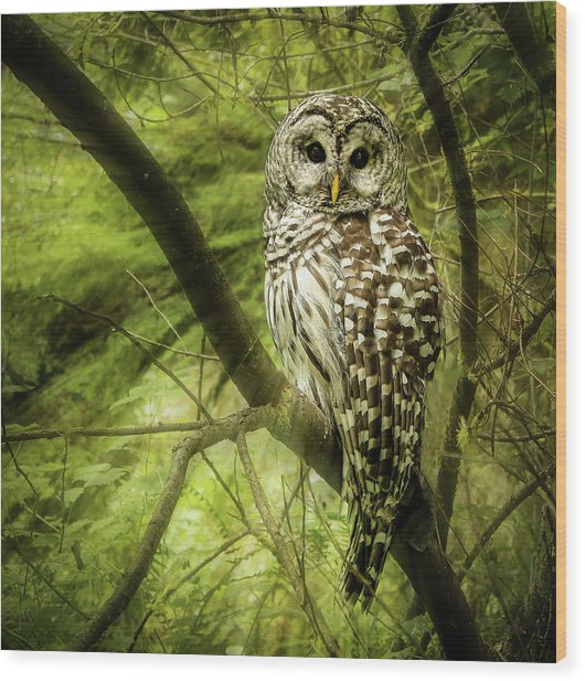 Radiating Barred Owl Wood Print