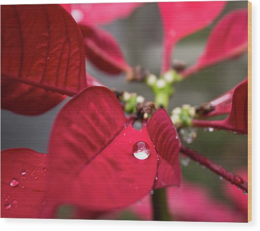 Rain Drop On A Poinsettia  Wood Print