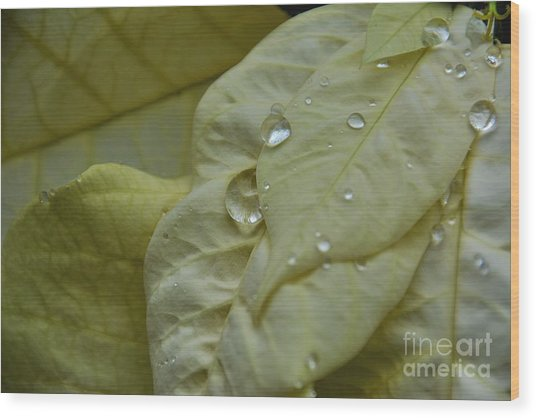 Rain Drops On A  White Poinsettia Wood Print