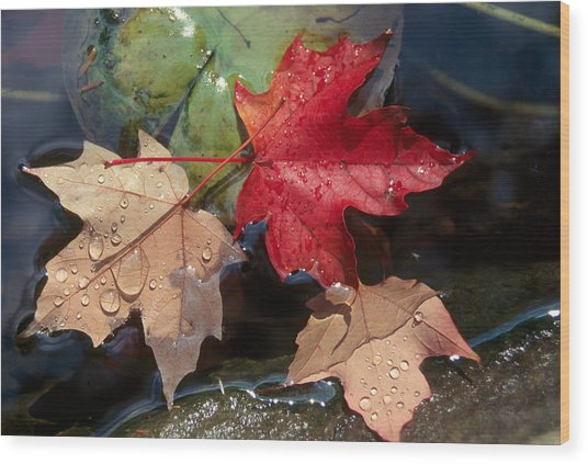 Rain Drops On Leaves Wood Print by Raju Alagawadi