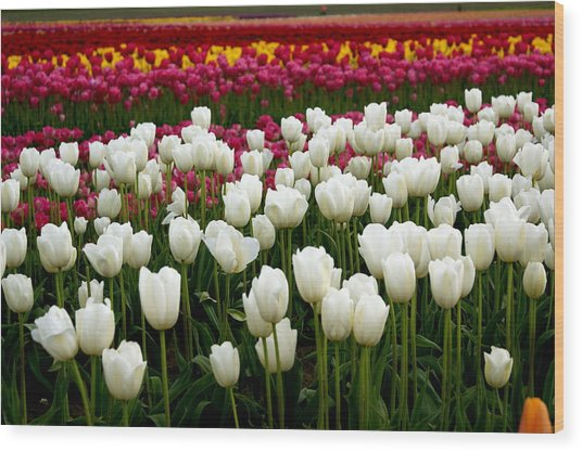 Rainbow Of Tulips Wood Print by Sonja Anderson