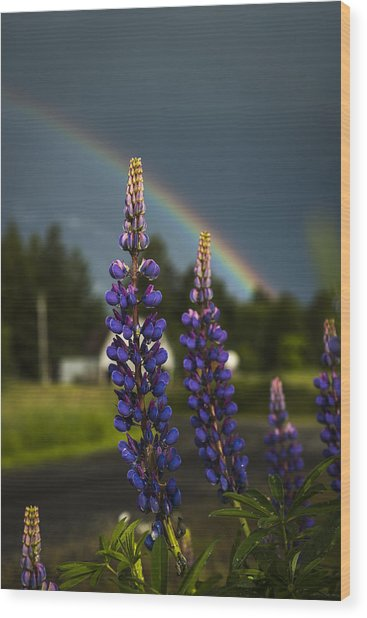 Rainbow Over Lupine  Wood Print