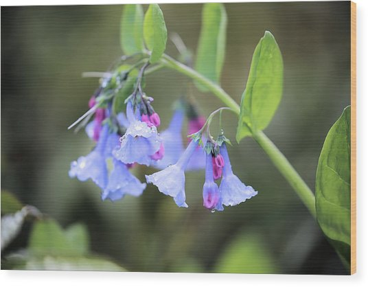 Raindrops On Blue Bells Wood Print